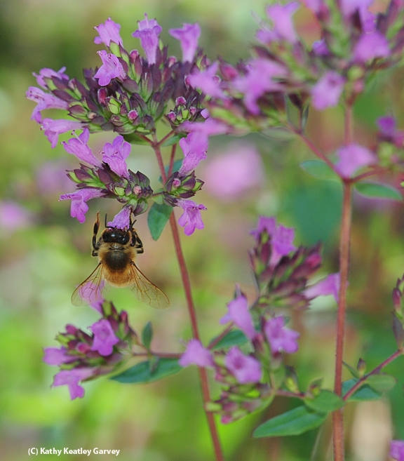 Oregano is a favorite of honey bees. (Photo by Kathy Keatley Garvey)