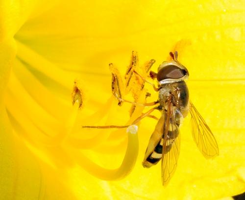 ADULT SYRPHID FLY feeds on nectar. (Photo by Kathy Keatley Garvey)