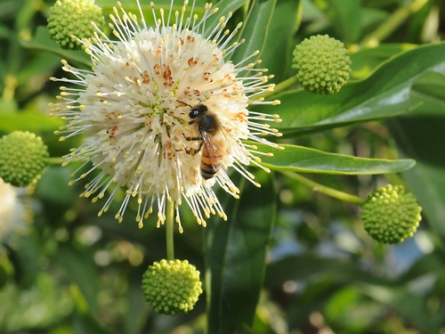 Honey bee on button willow