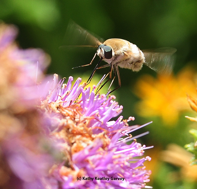 Bee fly, a bombyliid, hovers like a helicopter. Note the long tongue. (Photo by Kathy Keatley Garvey) 2800 copy