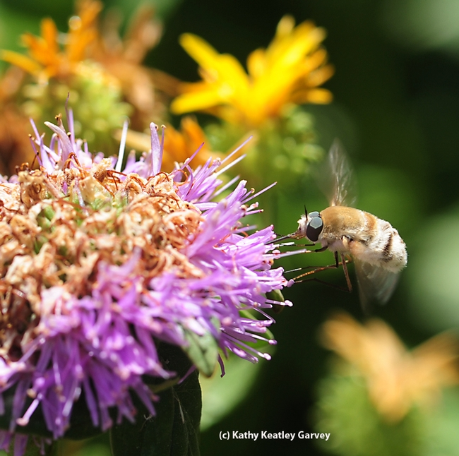 Bee fly foraging for nectar. (Photo by Kathy Keatley Garvey)