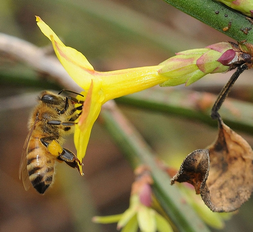 Pollen-packing bee