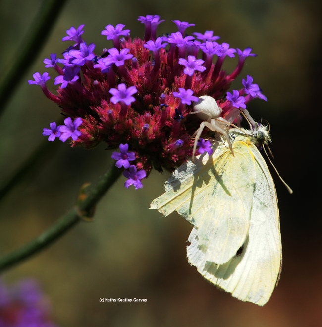 Crab spider with its kill, a cabbage white butterly. (Photo by Kathy Keatley Garvey)