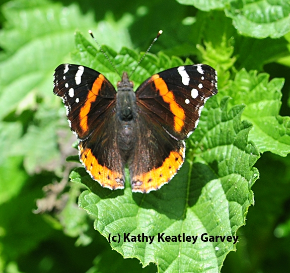 A Red Admiral at the Berkeley Marina. (Photo by Kathy Keatley Garvey)