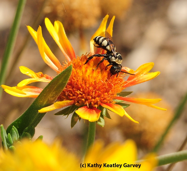 A male cuckoo bee, Triepeolus concavus, on a blanket flower (Gaillardia). (Photo by Kathy Keatley Garvey)