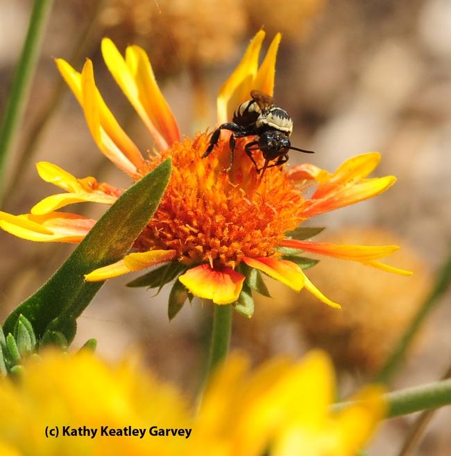 Male cuckoo bee sipping nectar. (Photo by Kathy Keatley Garvey)