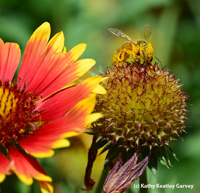 Honey bee is dusted with pollen from the blanket flower. (Photo by Kathy Keatley Garvey)