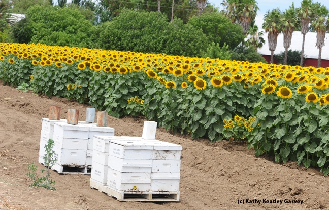 Bee boxes line a sunflower field. (Photo by Kathy Keatley Garvey)