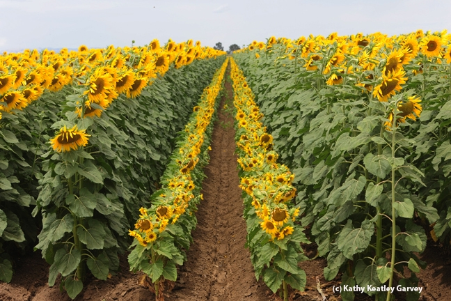 A spectacular sunflower field. (Photo by Kathy Keatley Garvey)