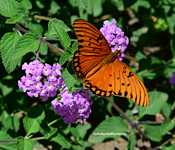 Gulf Fritillary butterfly on lantana. (Photo by Kathy Keatley Garvey)