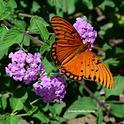 Gulf Fritillary butterfly on lantana. (Photo by Kathy Keatley Garvey)