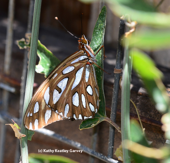 Side view (underside) of Gulf Fritillary about to lay an egg on a passion flower vine. (Photo by Kathy Keatley Garvey)