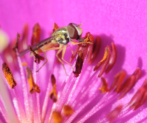 HOVER FLY is drawn to the nectar. (Photo by Kathy Keatley Garvey)