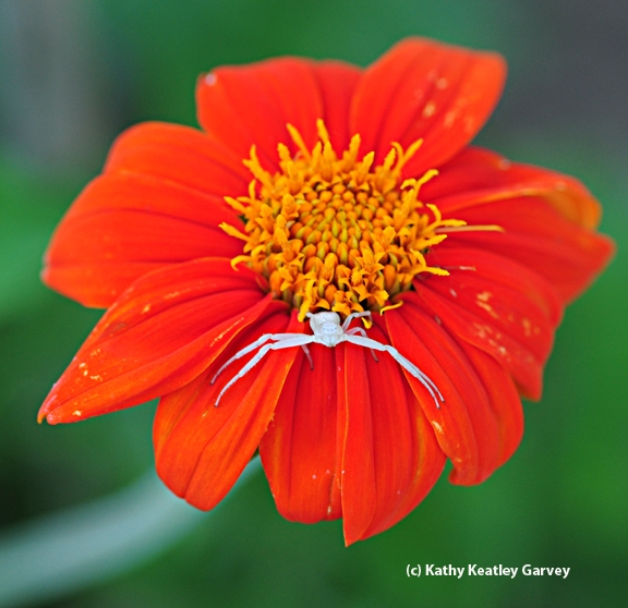 Crab spider on a Mexican sunflower, Tithonia. (Photo by Kathy Keatley Garvey)