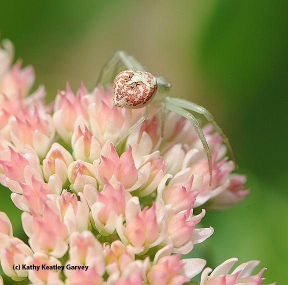 Crab spider on sedum. (Photo by Kathy Keatley Garvey)