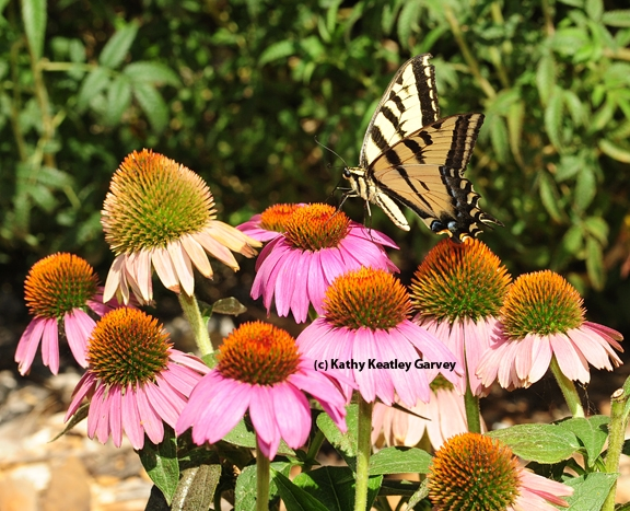 Western tiger swallowtail on a purple coneflower. (Photo by Kathy Keatley Garvey)