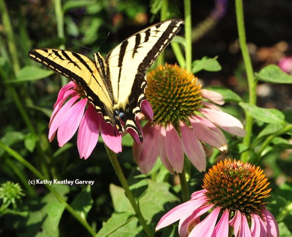 Western tiger swallowtail spreads its wings. (Photo by Kathy Keatley Garvey)