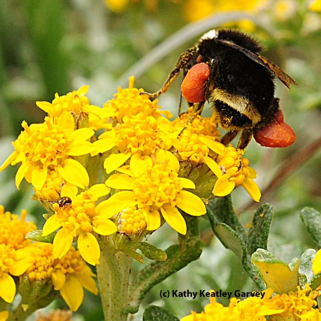This yellow-faced bumble bee is packing red pollen. (Photo by Kathy Keatley Garvey)