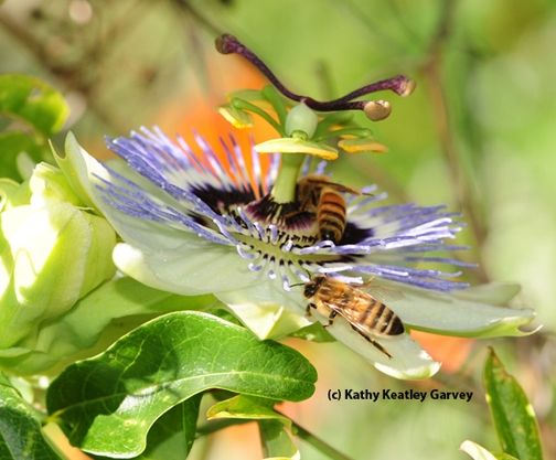Honey bees foraging on a passion flower blossom. (Photo by Kathy Keatley Garvey)