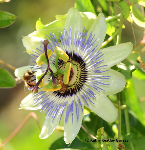 From the top, the passion flower blossom looks like an intricate merry-go-round. (Photo by Kathy Keatley Garvey)