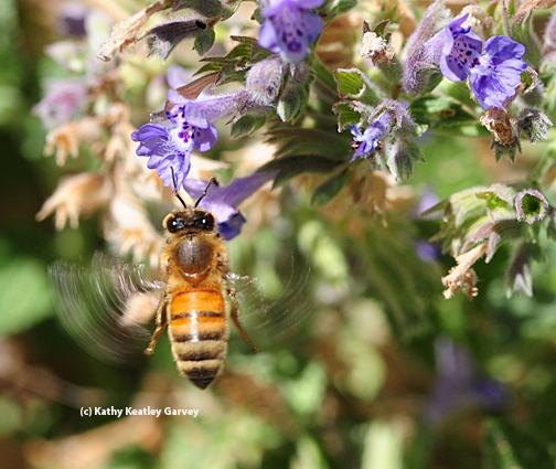 Honey bee spinning like a top. (Photo by Kathy Keatley Garvey)