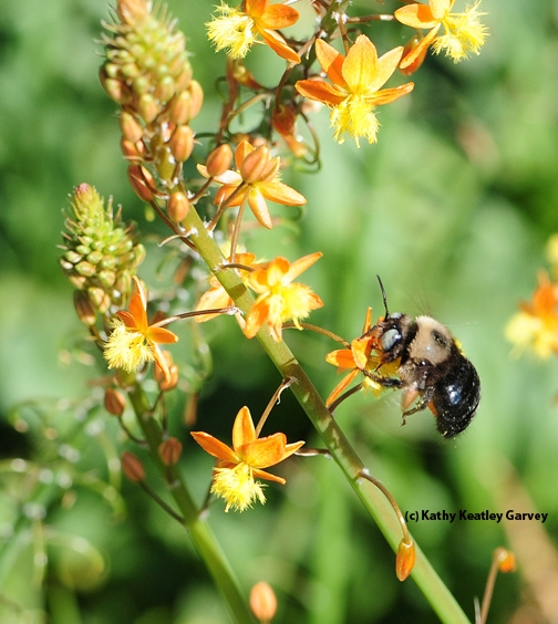 A male mountain carpenter bee, Xylocopa tabaniformis orpifex, nectaring on bulbine.  (Photo by Kathy Keatley Garvey)