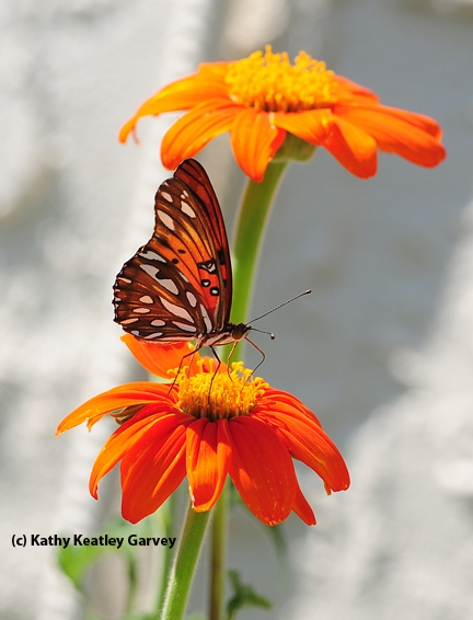 Gulf fritillary butterfly. Agraulis vanillae, lands on Mexican sunflower, Tithonia. (Photo by Kathy Keatley Garvey)