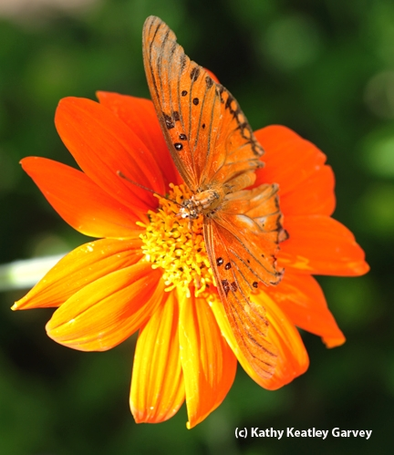 Gulf fritillary butterfly spreads its wings. (Photo by Kathy Keatley Garvey)
