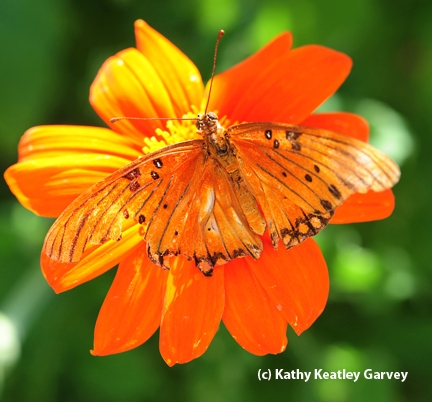 A perfect match: gulf fritillary on Mexican sunflower. (Photo by Kathy Keatley Garvey)