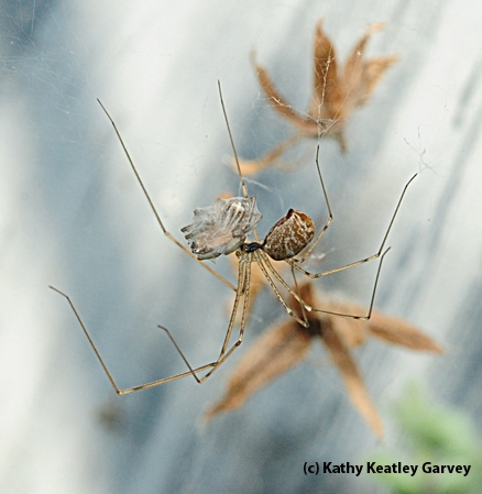 All wrapped up--a cellar spider nabs another cellar spider. (Photo by Kathy Keatley Garvey)