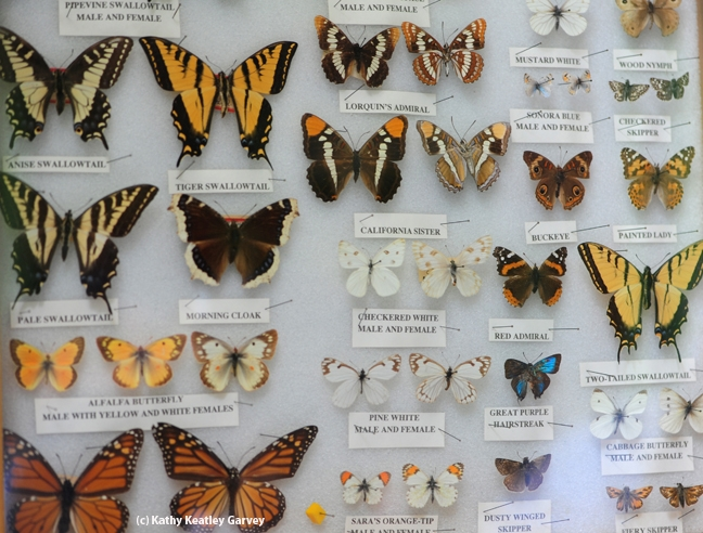 Butterfly specimens in the Insect Pavilion. (Photo by Kathy Keatley Garvey)
