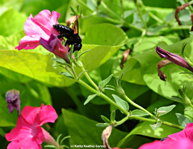 A female Valley carpenter bee working a petunia. (Photo by Kathy Keatley Garvey)