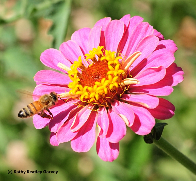 A honey bee zeroing in on a zinnia. (Photo by Kathy Keatley Garvey)