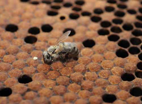 NEWBORN BEE: What's in store for this newborn bee and her family? (Photo by Kathy Keatley Garvey)