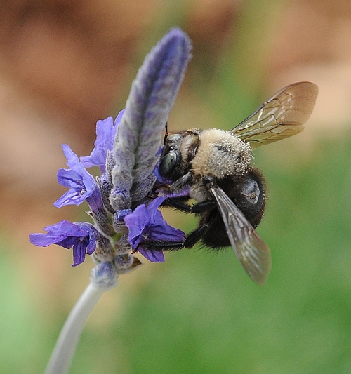 A male carpenter bee (Xylocopa tabaniformis) nectars on lavender. (Photo by Kathy Keatley Garvey)