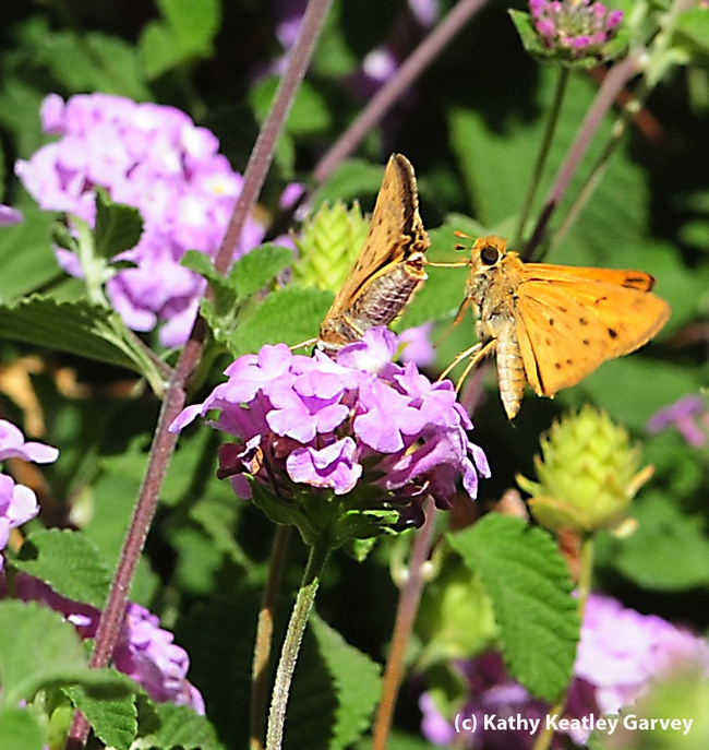 Courtship in the lantana: second photo in a series of four. (Photo by Kathy Keatley Garvey)