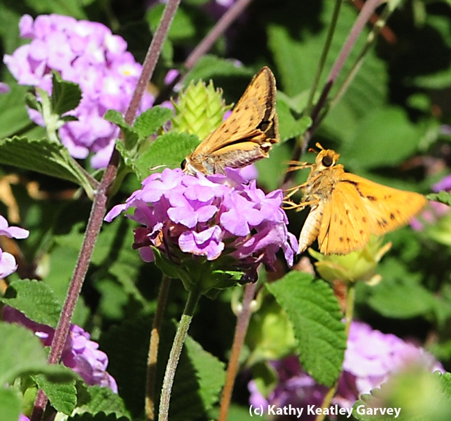 Courtship in the lantana: third photo in a series of four. (Photo by Kathy Keatley Garvey)
