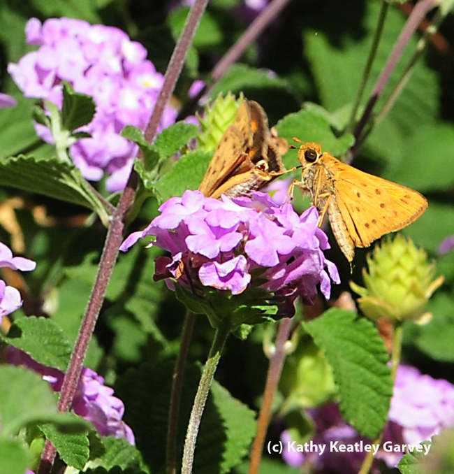 Courtship in the lantana: fourth photo in a series of four. (Photo by Kathy Keatley Garvey)