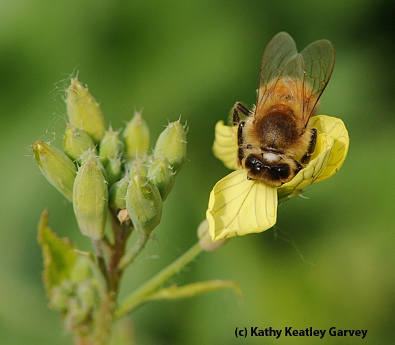 Honey bee foraging on mustard, a good cover crop for bees. (Photo by Kathy Keatley Garvey)