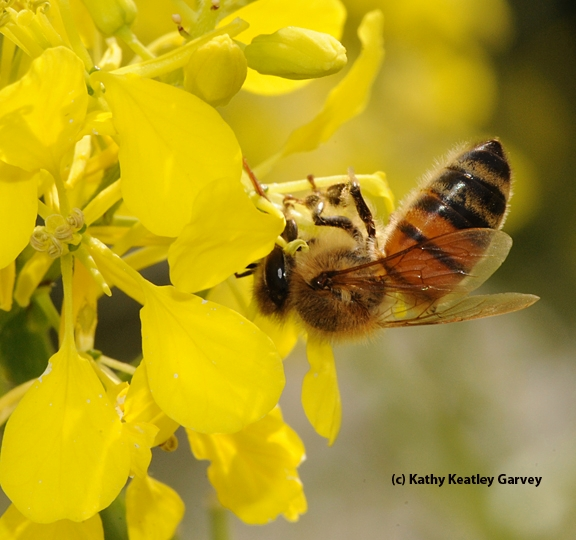 Upside down honey bee on mustard. (Photo by Kathy Keatley Garvey)