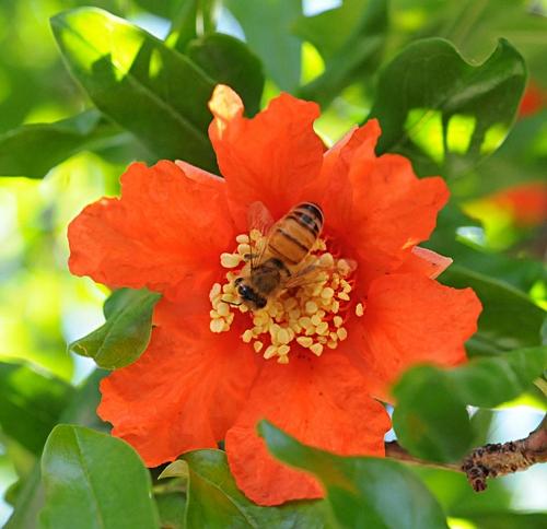 POM TIME--A honey bee nectars a pomegranate blossom. (Photo by Kathy Keatley Garvey)