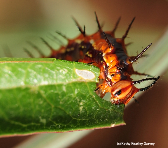 This Gulf Fritillary caterpillar is really chowing down. (Photo by Kathy Keatley Garvey)