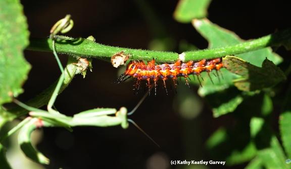 A praying mantis watches a ravenous caterpillar. (Photo by Kathy Keatley Garvey)