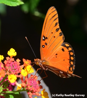 Gulf Fritillary nectaring on lantana. (Photo by Kathy Keatley Garvey)