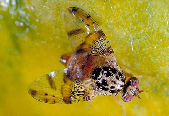 Mediterranean Fruit Fly. (Photo by Jack Kelly Clark)