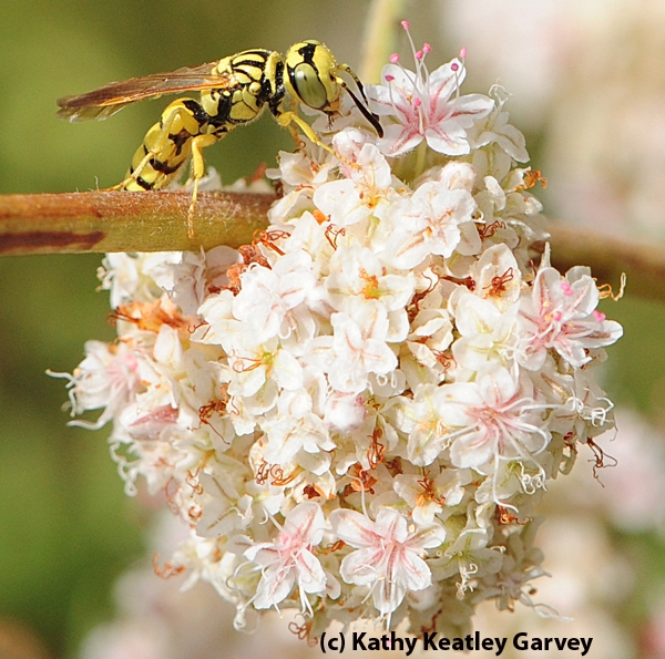 A beewolf, or crabronid wasp, on buckwheat. (Photo by Kathy Keatley Garvey)