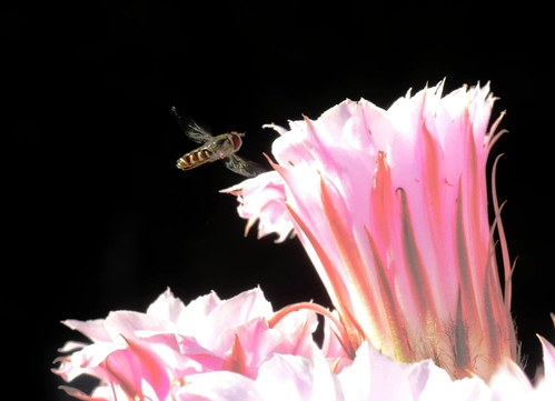 SYRPHID or flower fly aims for a cactus blossom. A high shutter speed slows the wing action. (Photo by Kathy Keatley Garvey)