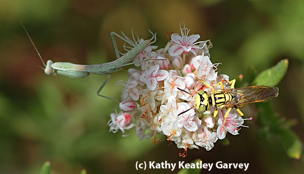 Beewolf lands on the same flower occupied by a hungry praying mantis. The wasp quickly left. (Photo by Kathy Keatley Garvey)