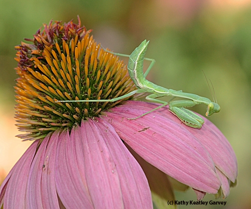 Praying mantis waits and waits. (Photo by Kathy Keatley Garvey)