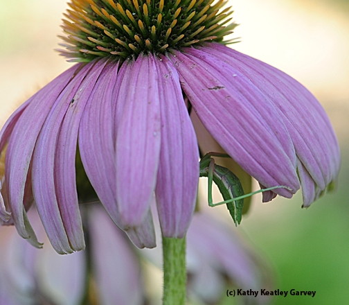 Keeping cool beneath the coneflower. (Photo by Kathy Keatley Garvey)